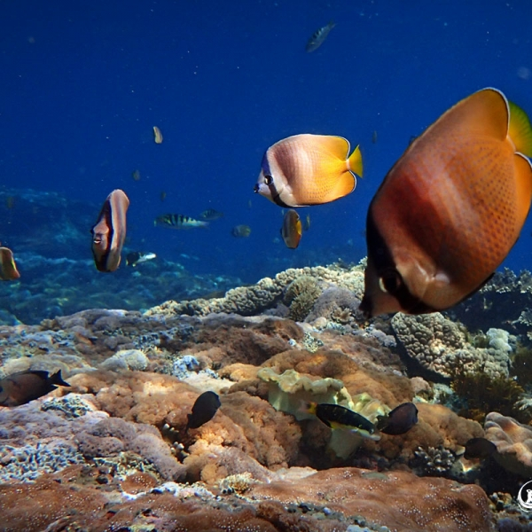 Snorkeling Nusa Lembongan - Butterfly Fish