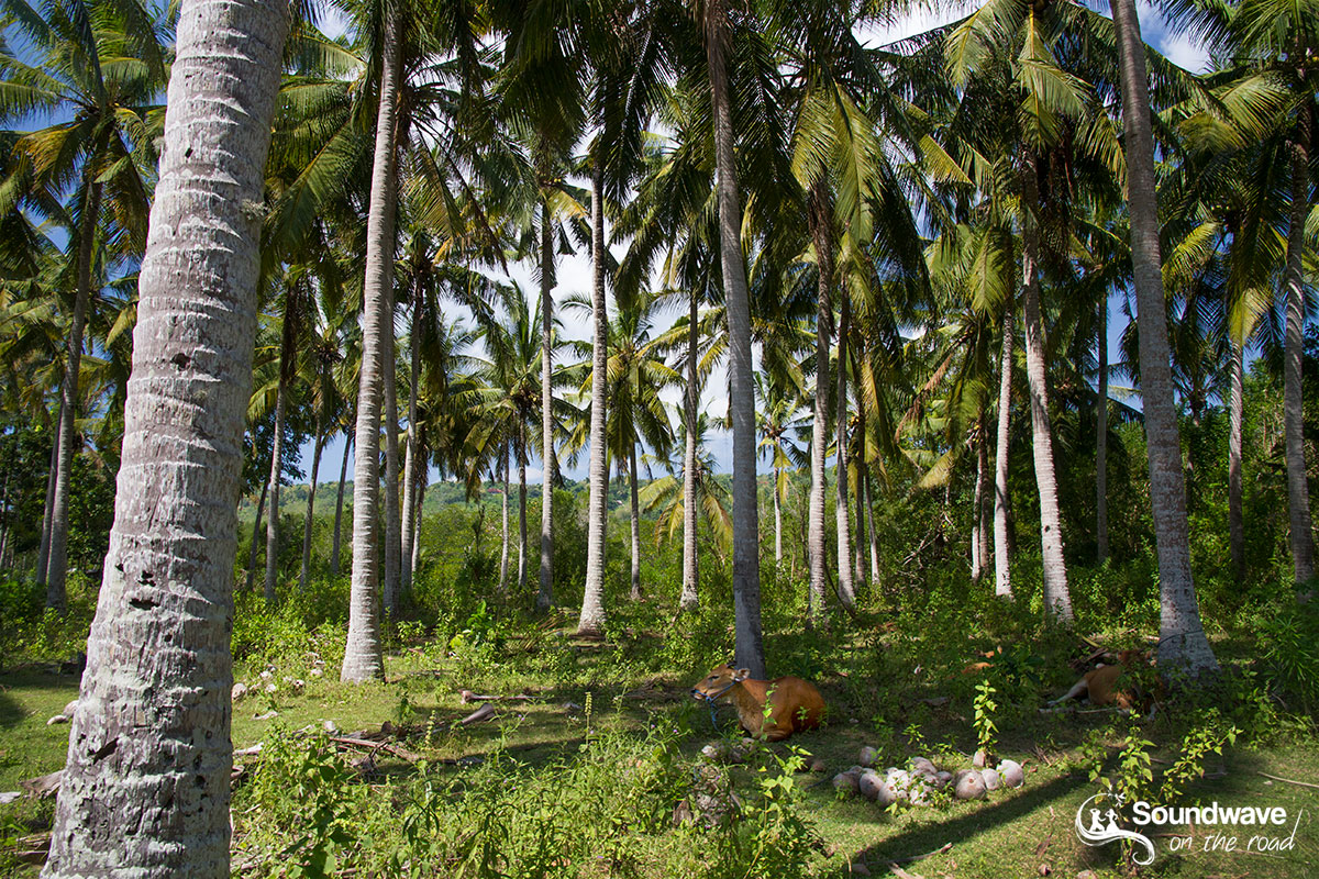 Cows resting in a coconut plantation in Nusa Lembongan near Bali