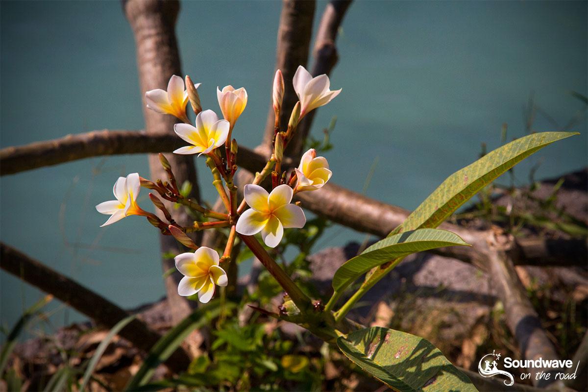 Frangipani flowers in Nusa Lembongan