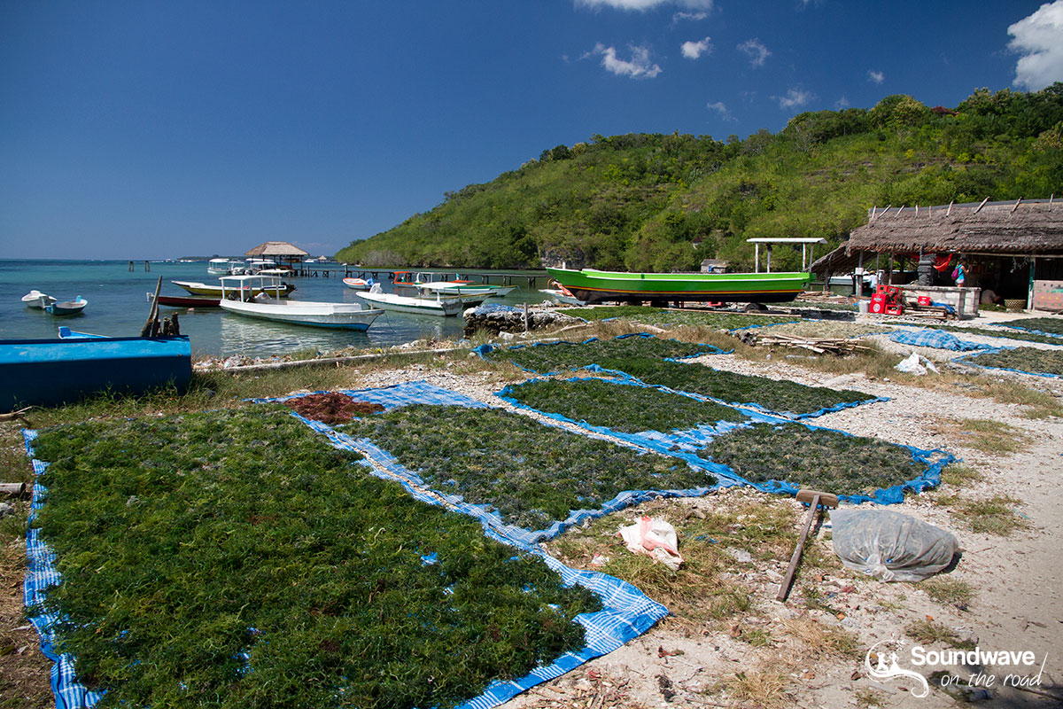 Sea weed culture in Nusa Ceningan