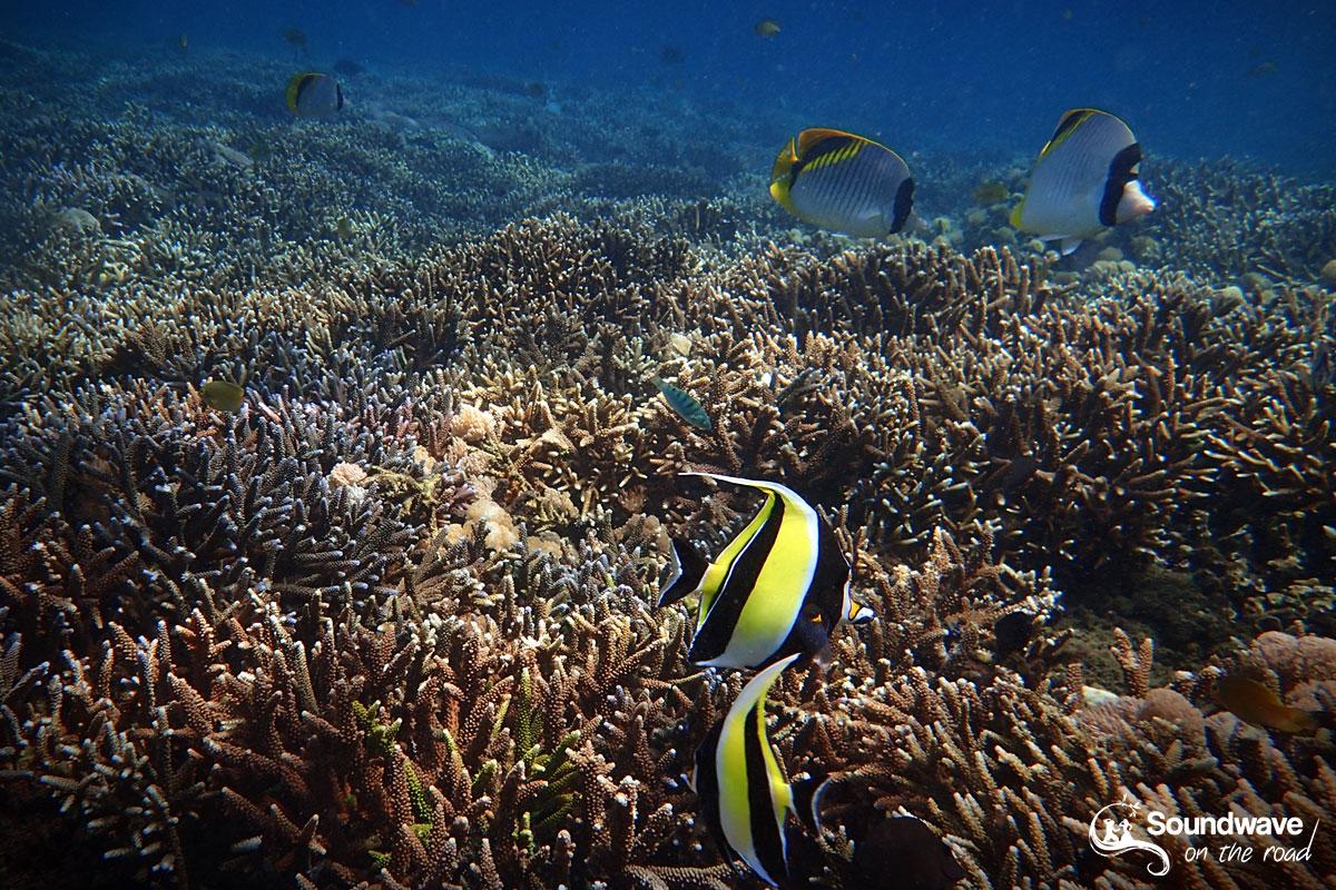 Snorkeling Nusa Lembongan - Moorish Idols