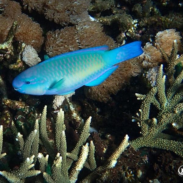 Snorkeling Nusa Lembongan - Parrot Fish