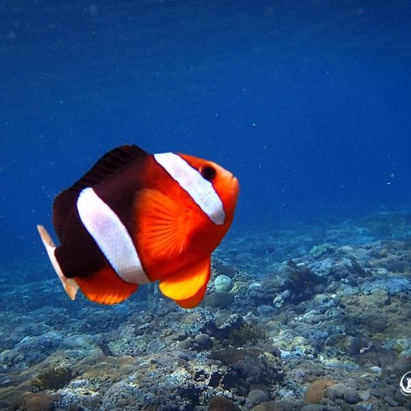 Snorkeling Nusa Lembongan - Anemone Fish