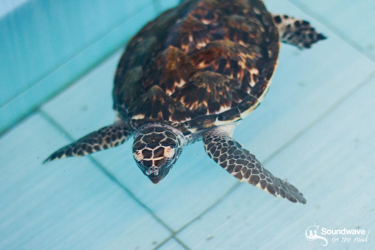Où faire du volontariat avec les tortues marines en Indonésie ?