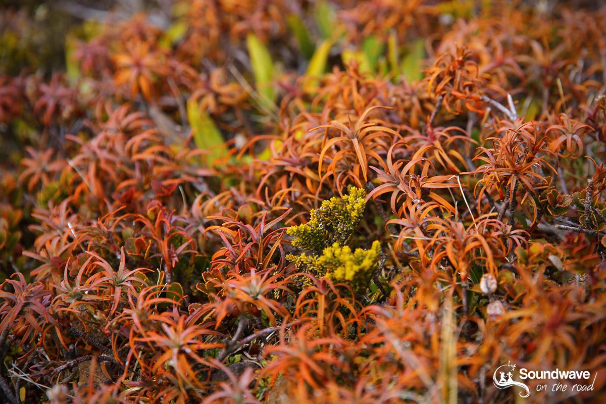 Tongariro vegetation