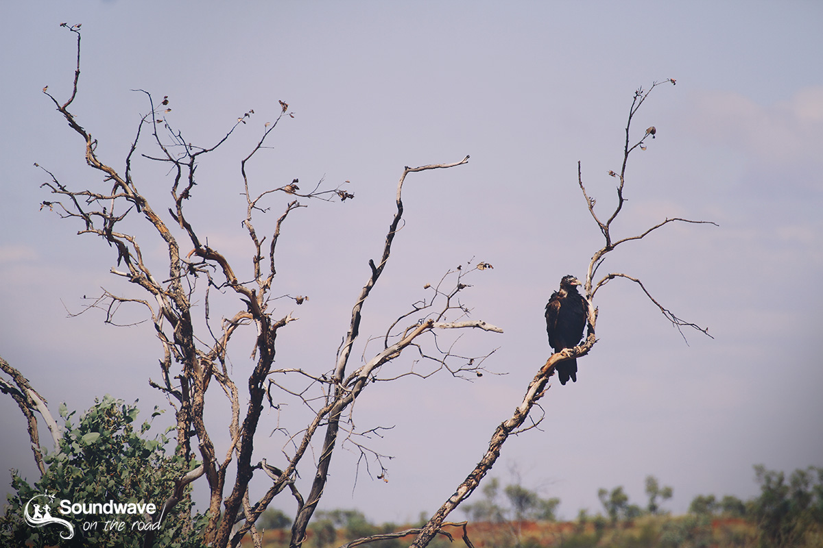 Wedge-tail eagle in WA
