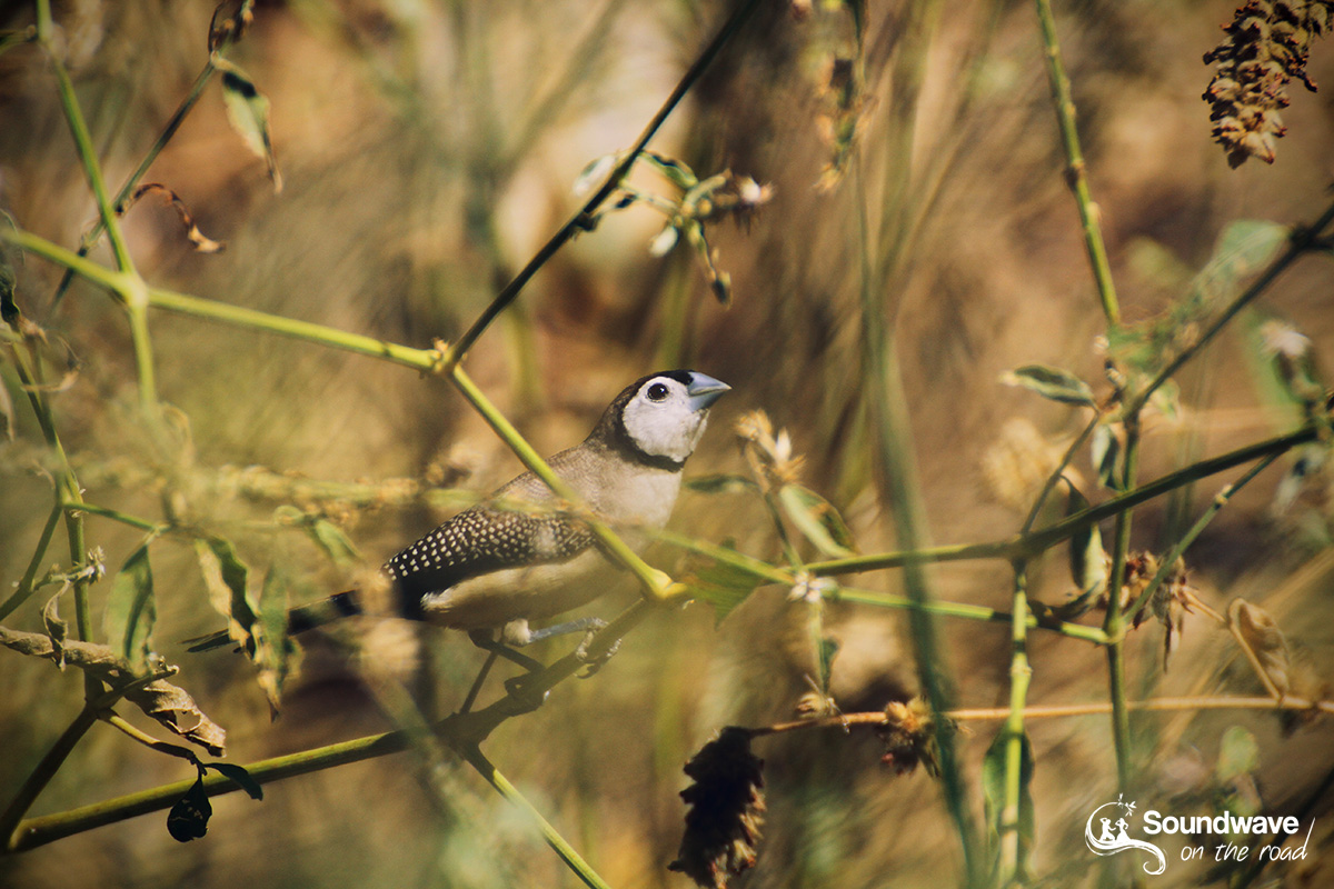 Double-barred Finch in the Kimberleys