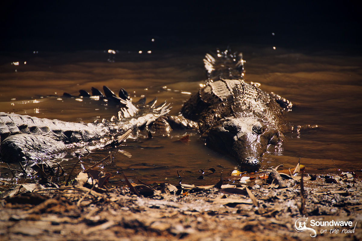 Freshwater crocodiles in muddy water