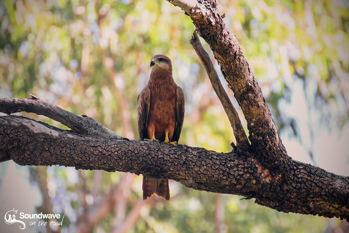 Whistling kite in WA