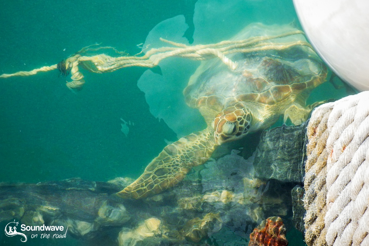 Green turtle in Monkey Mia, Shark Bay, Western Australia