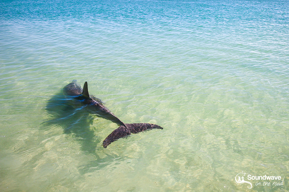 Volunteer with dolphins in Monkey Mia