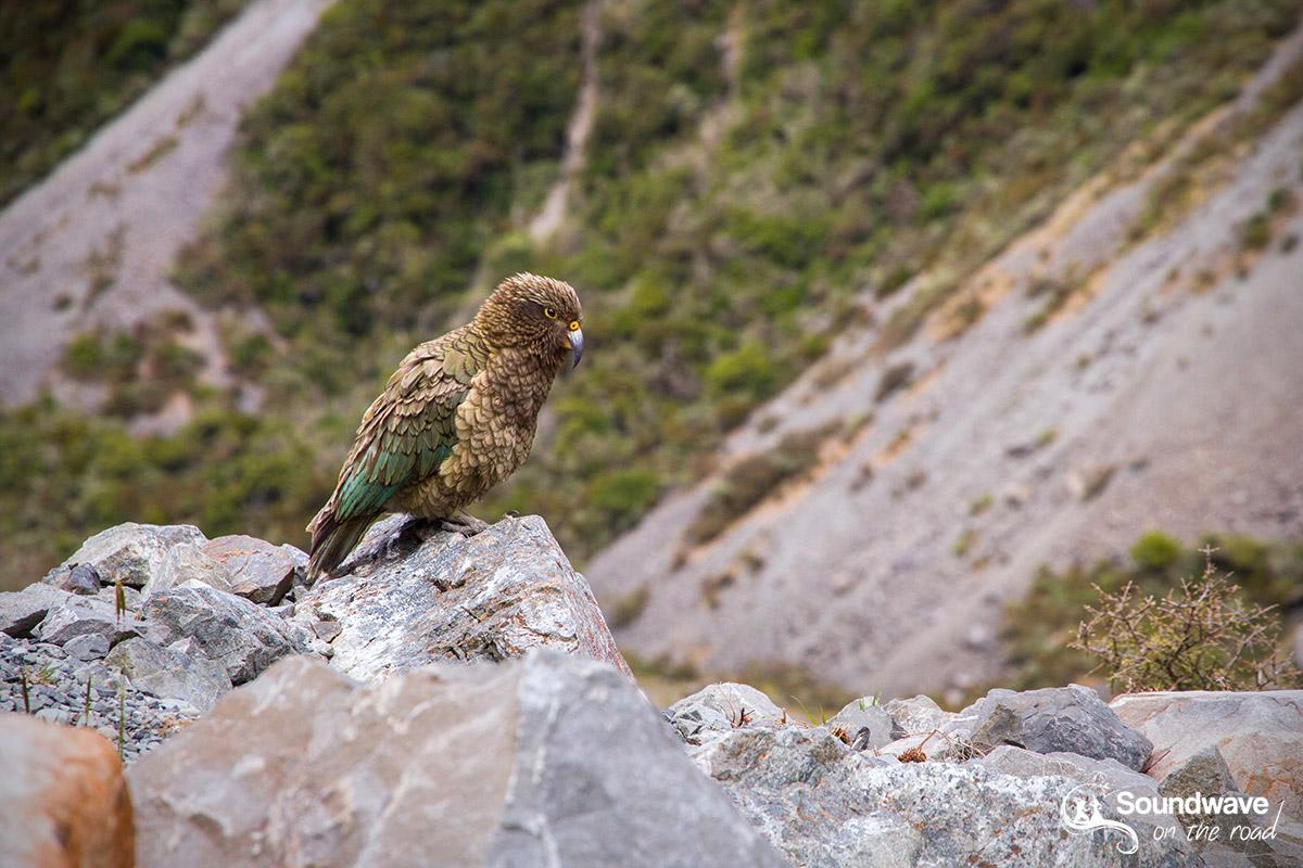 Le kéa, perroquet de Nouvelle Zélande