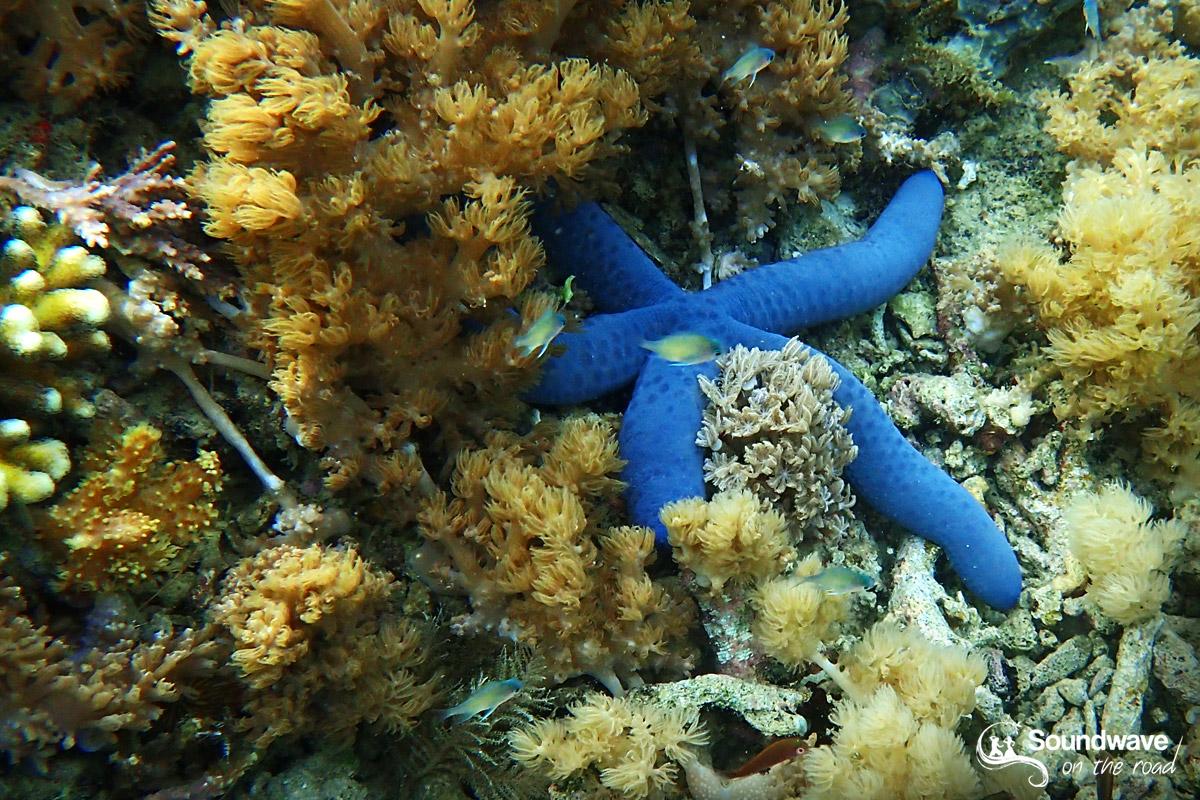 Etoile de mer bleue à Keramat Island en Indonésie