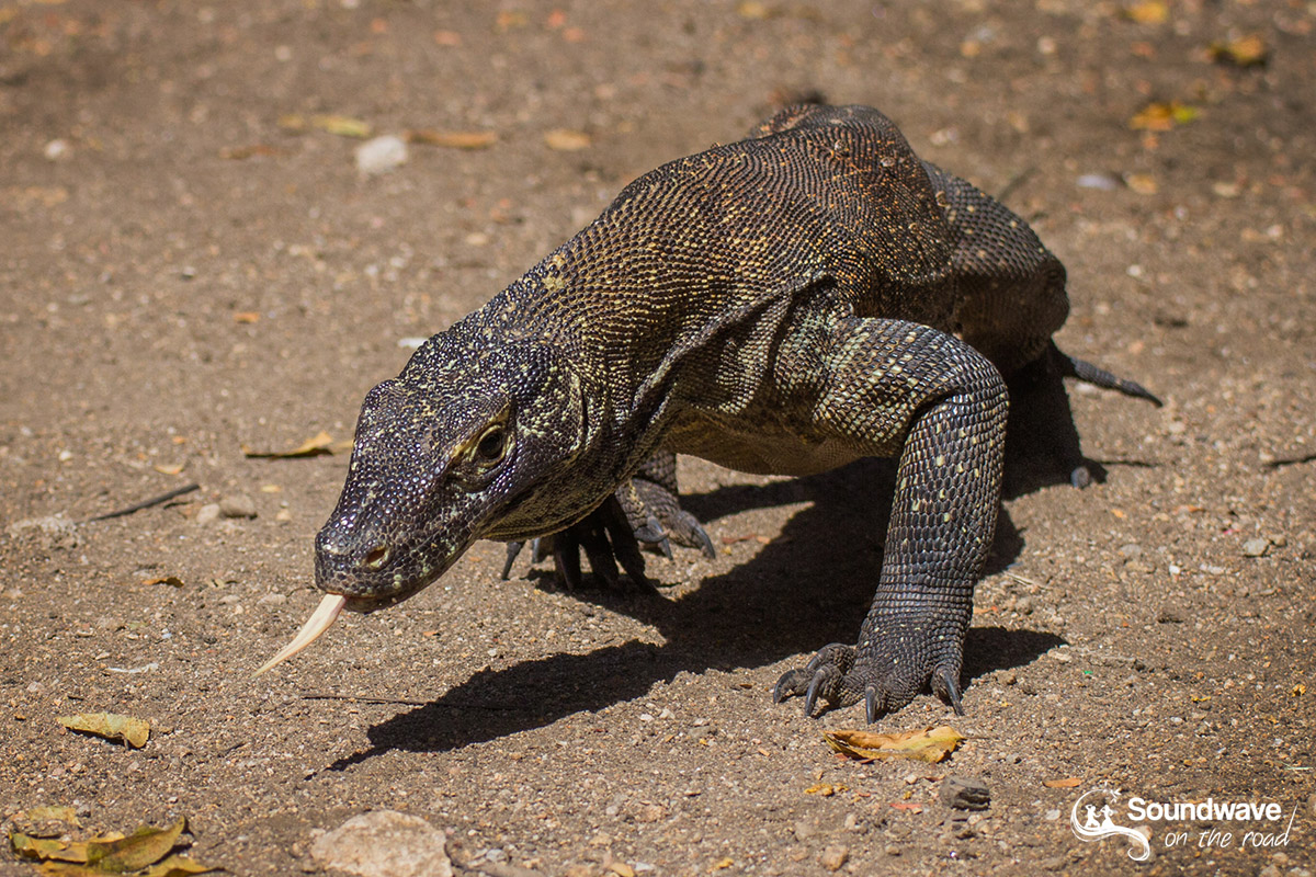 Dragon de Komodo en approche !