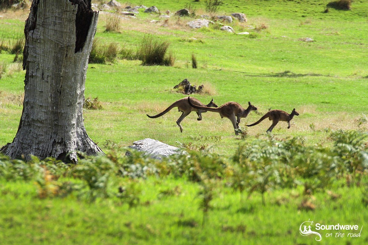 Kangaroo Family Jumping