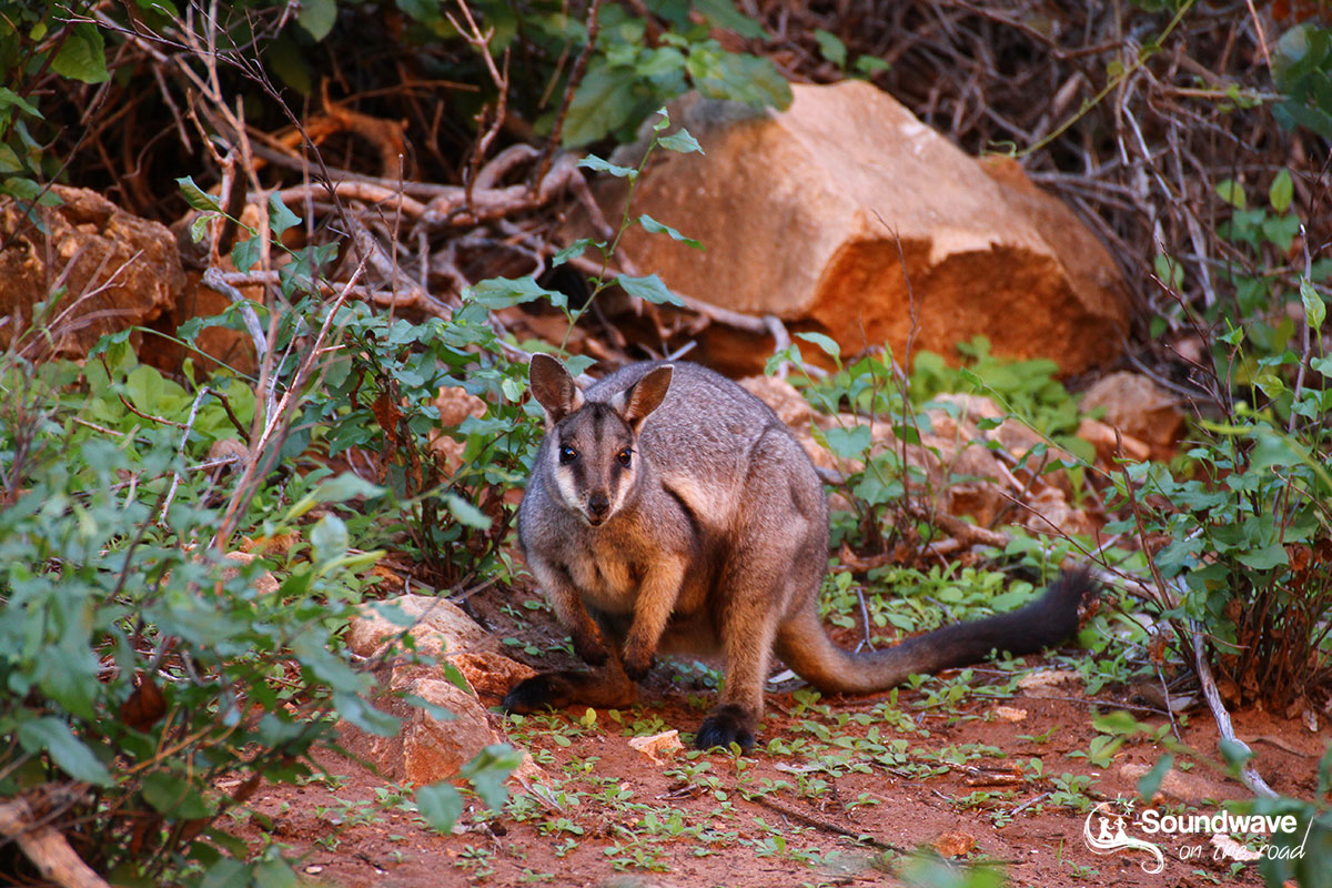 Rock Wallaby in Cape Range National Park
