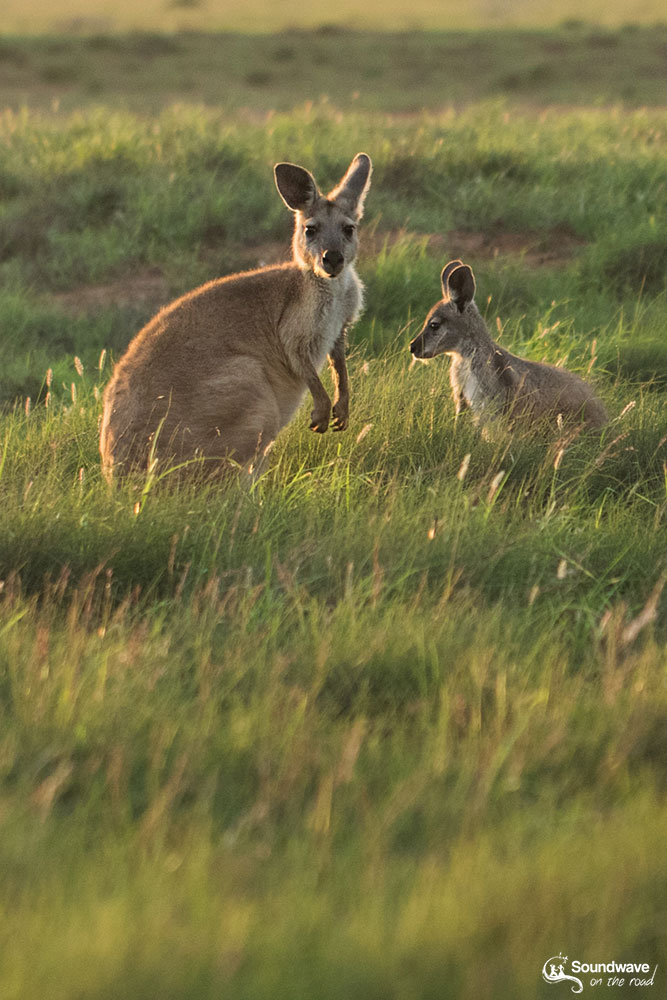 Kangaroos in the Ningaloo Coast