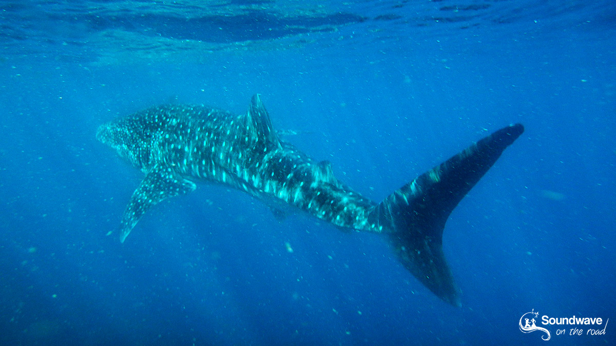 Whale Shark in the Ningaloo Reef - Western Australia