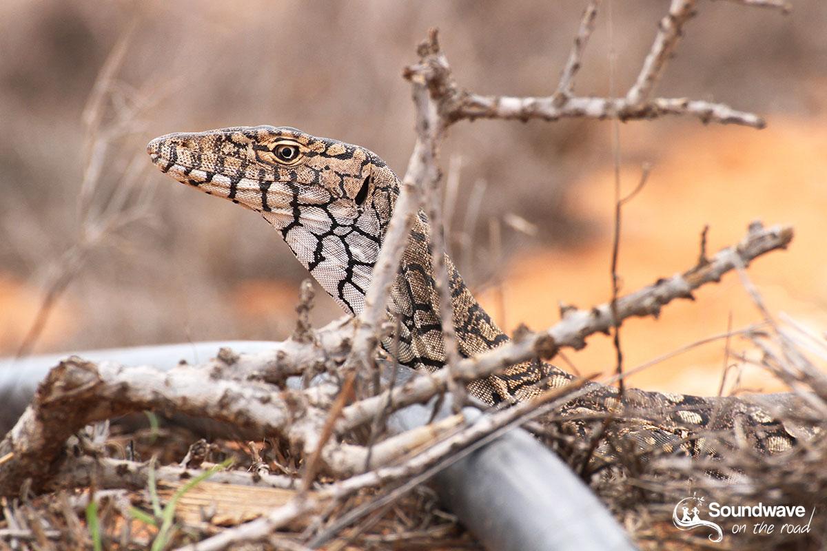 Perentes - Goanna - Varan - Monitor Lizard