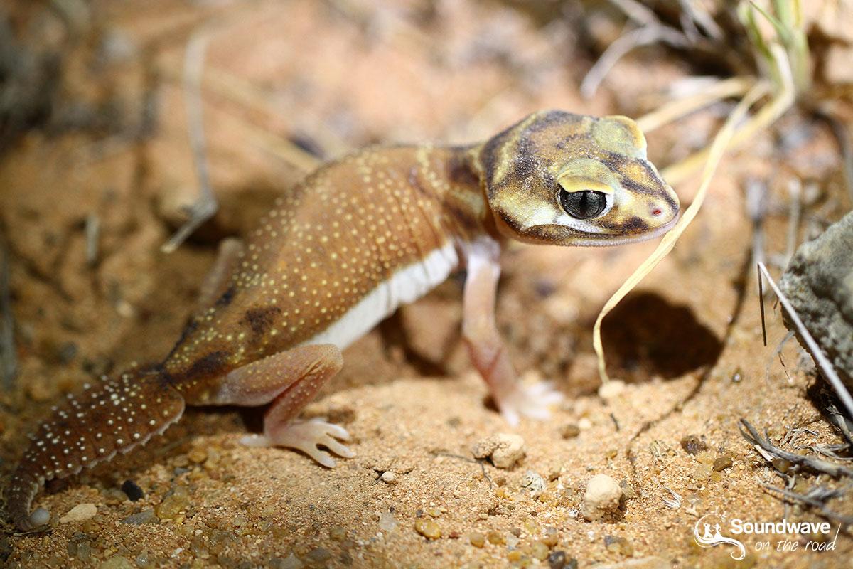 Knob-tailed gecko in Gnaraloo - Australia