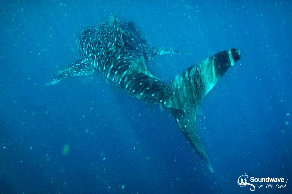 Ou voir des requins baleines en Australie ?