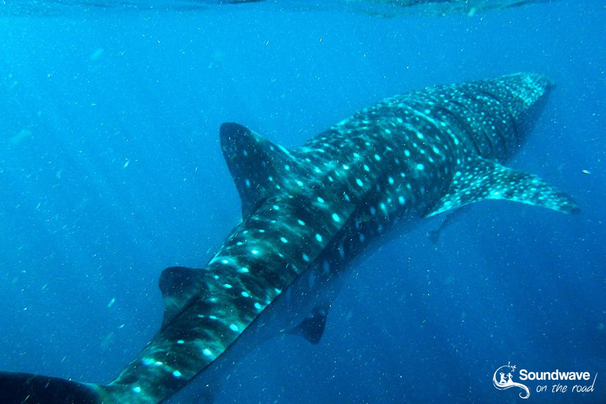 Nager avec un requin baleine à Coral Bay