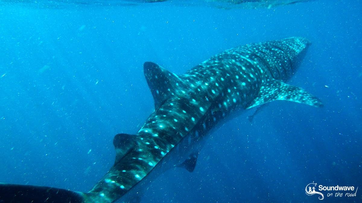 Nager avec un requin baleine à Coral Bay et Exmouth en Australie