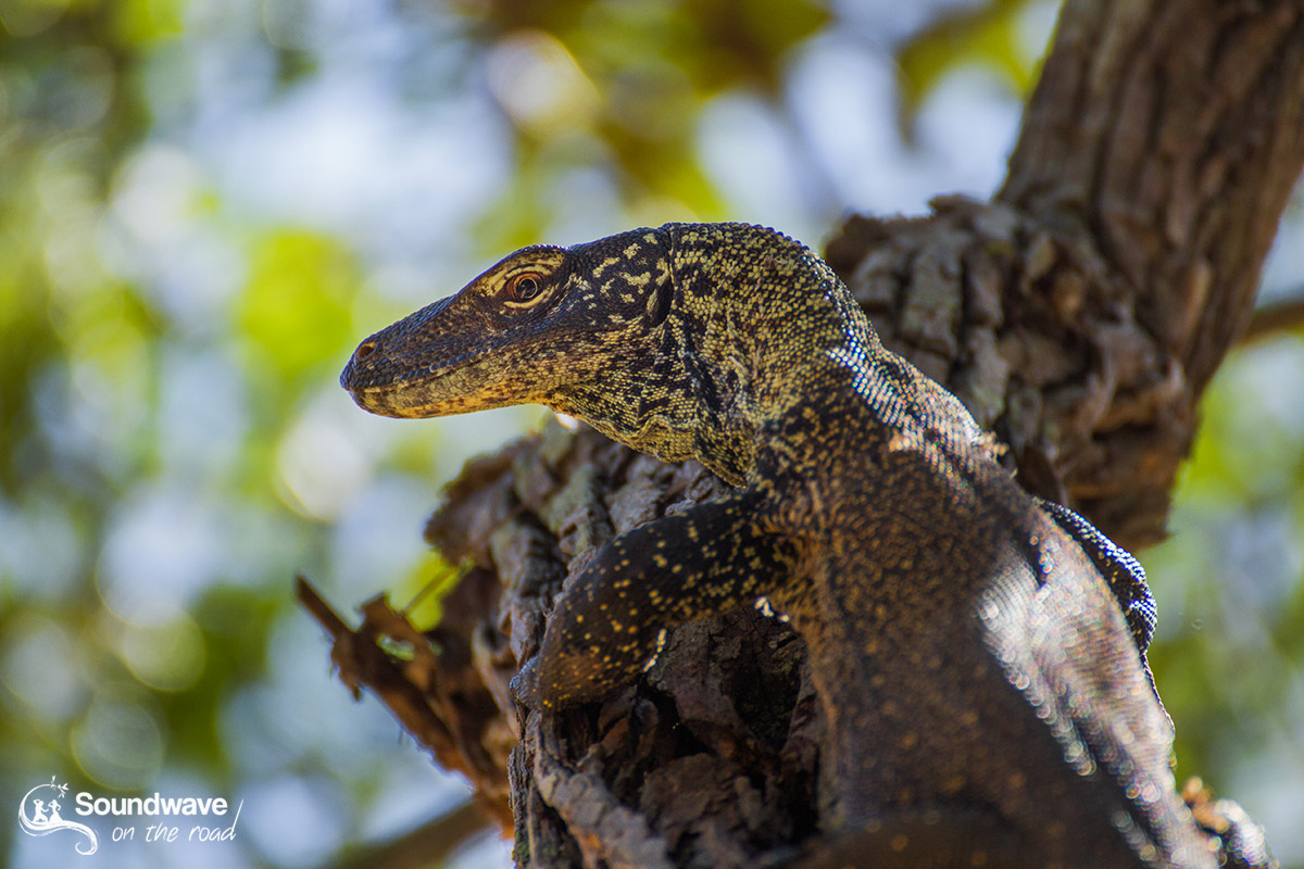 Voir des dragons de Komodo - Blog de voyage en Indonésie