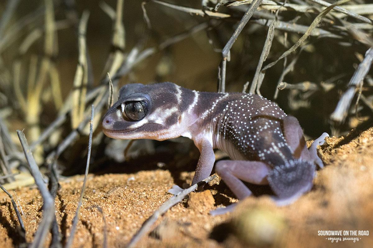 Knob-tailed gecko sur la côté ouest de l'Australie