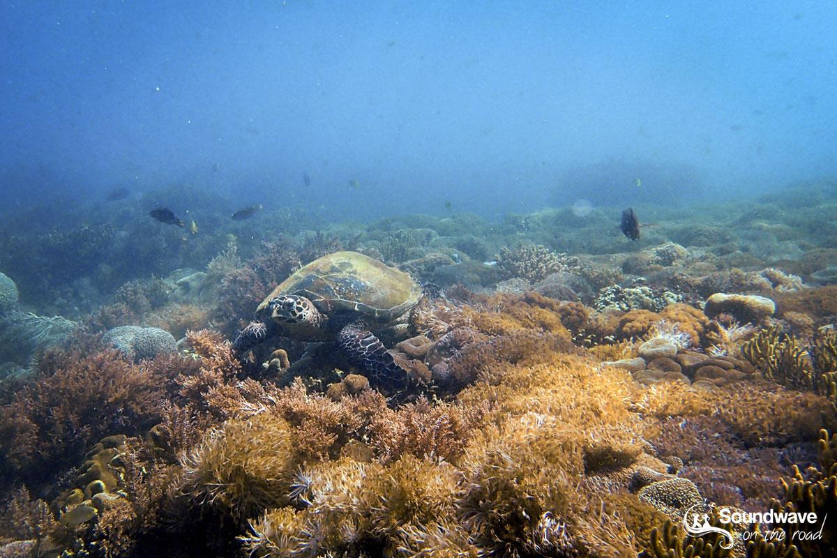Tortue imbriquée à Pink Beach - Parc National de Komodo - Indonésie