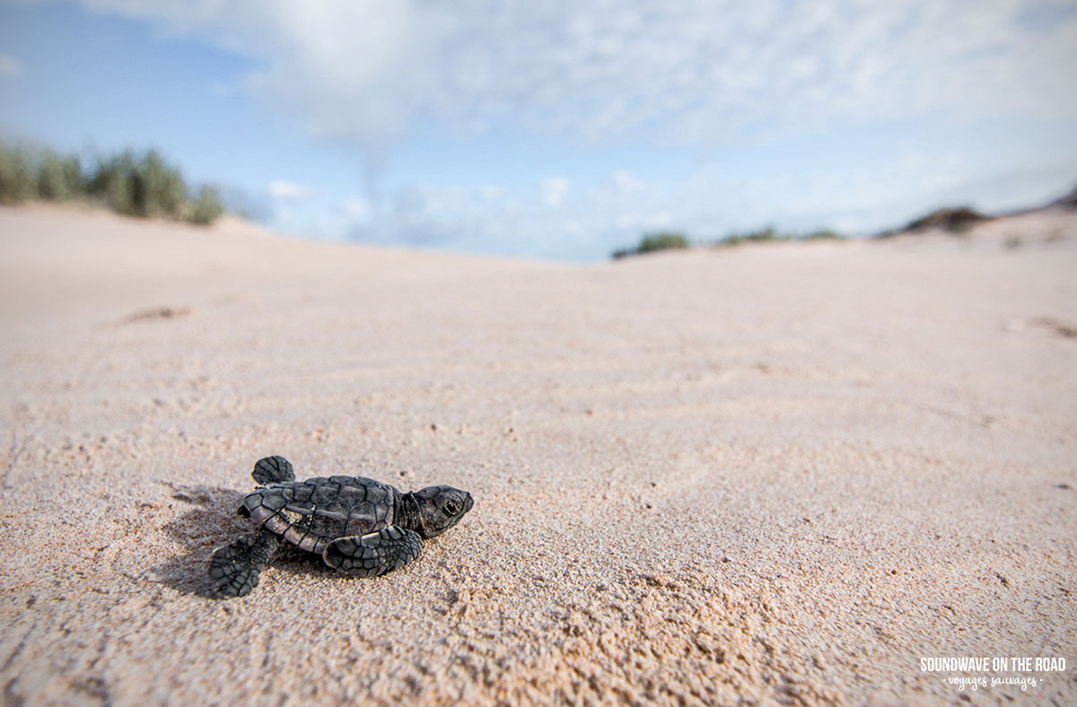 Observer les bébés tortues sur la côte de Ningaloo