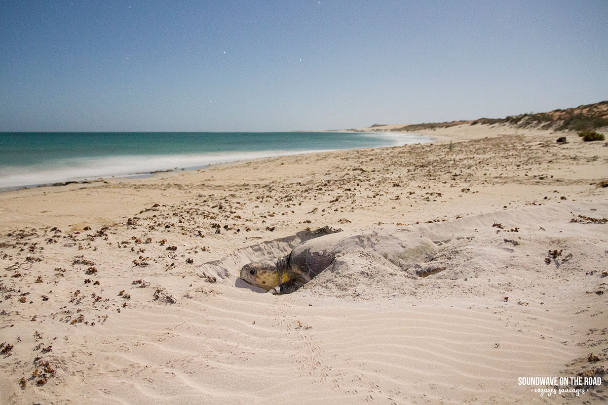 Tortue caouanne en train de recouvrir son nid en Australie Occidentale