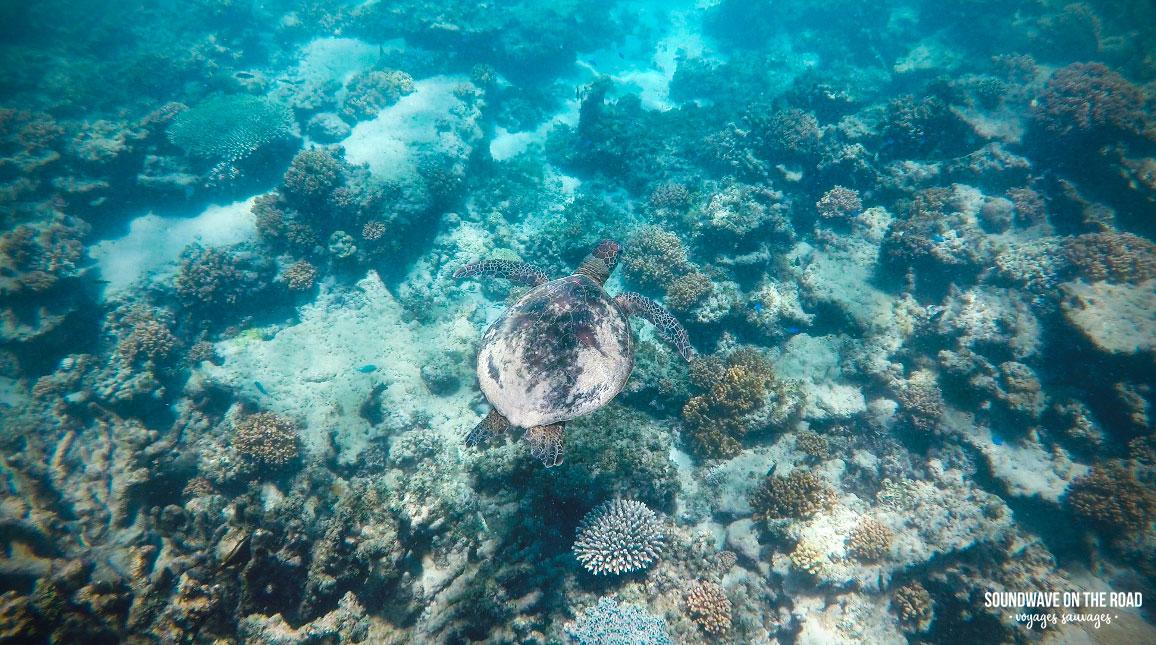 Tortue verte à Gnaraloo Bay, Ningaloo Reef, Western Australia