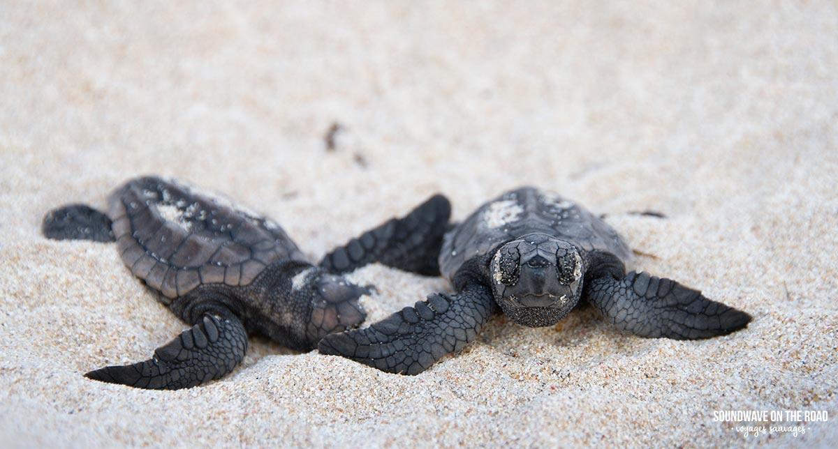 Voir des bébés tortues en Australie