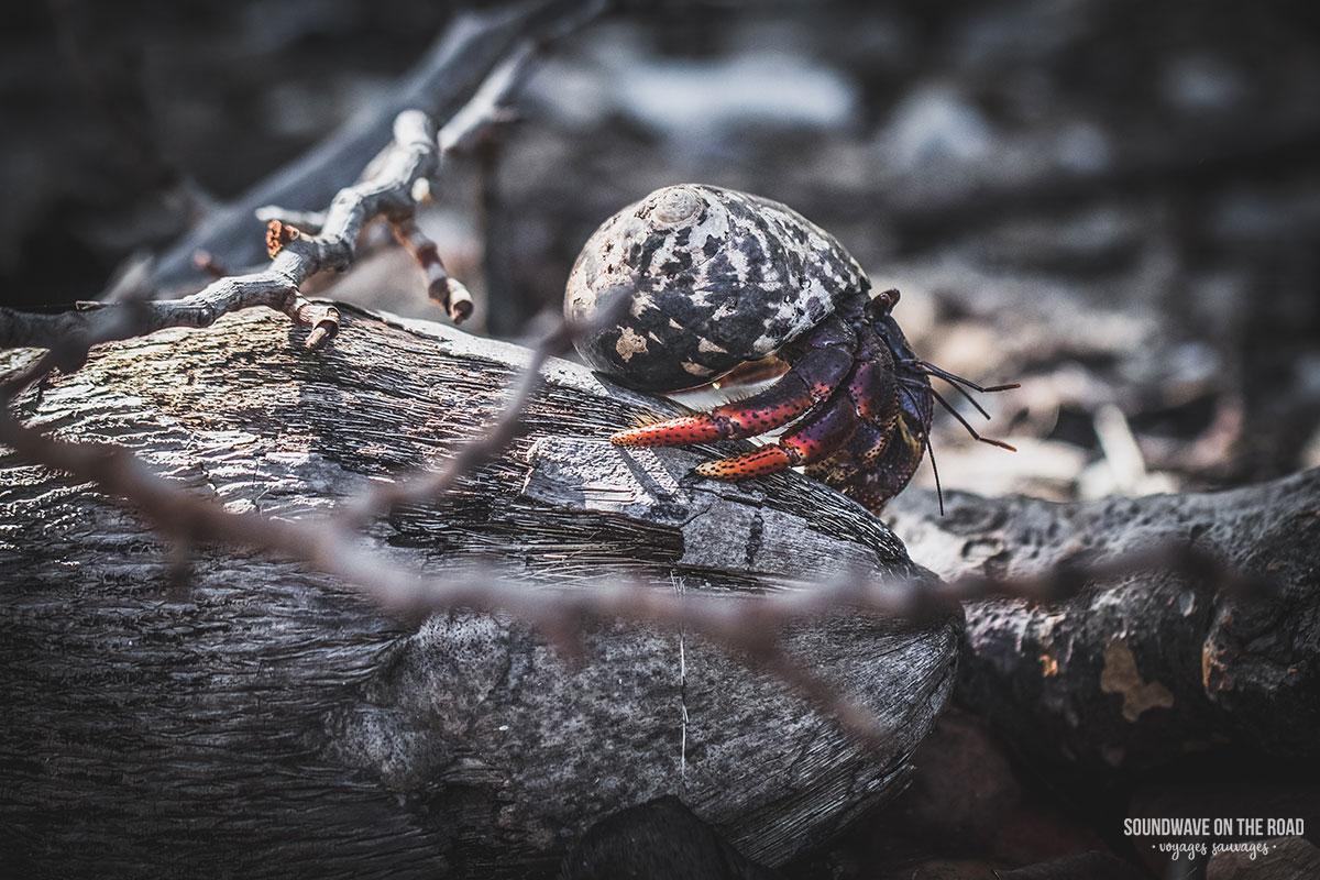 Bernard l'hermite à Petite Terre en Guadeloupe
