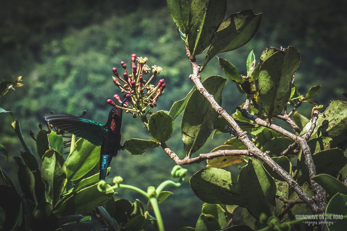 Colibri sur les flancs du volcan de la Soufrière en Guadeloupe