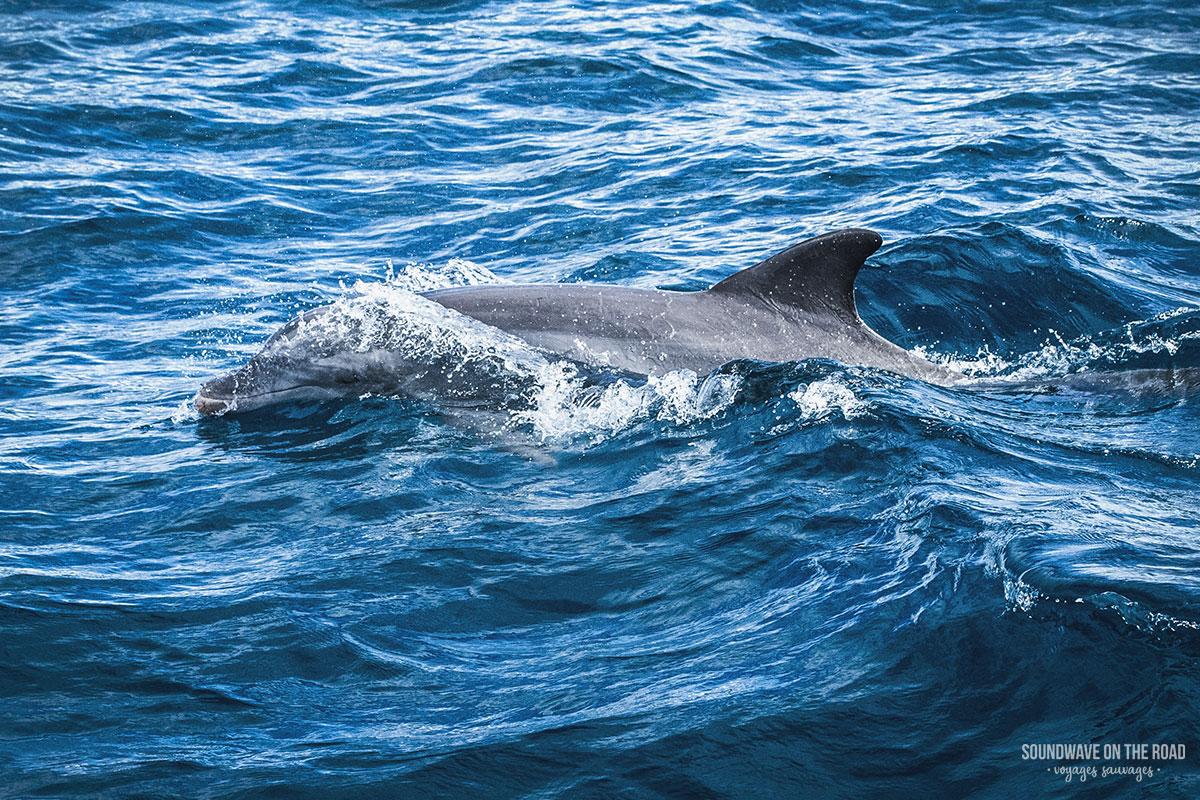 Grand dauphin qui nous accompagne entre Saint François et Petite Terre, Guadeloupe