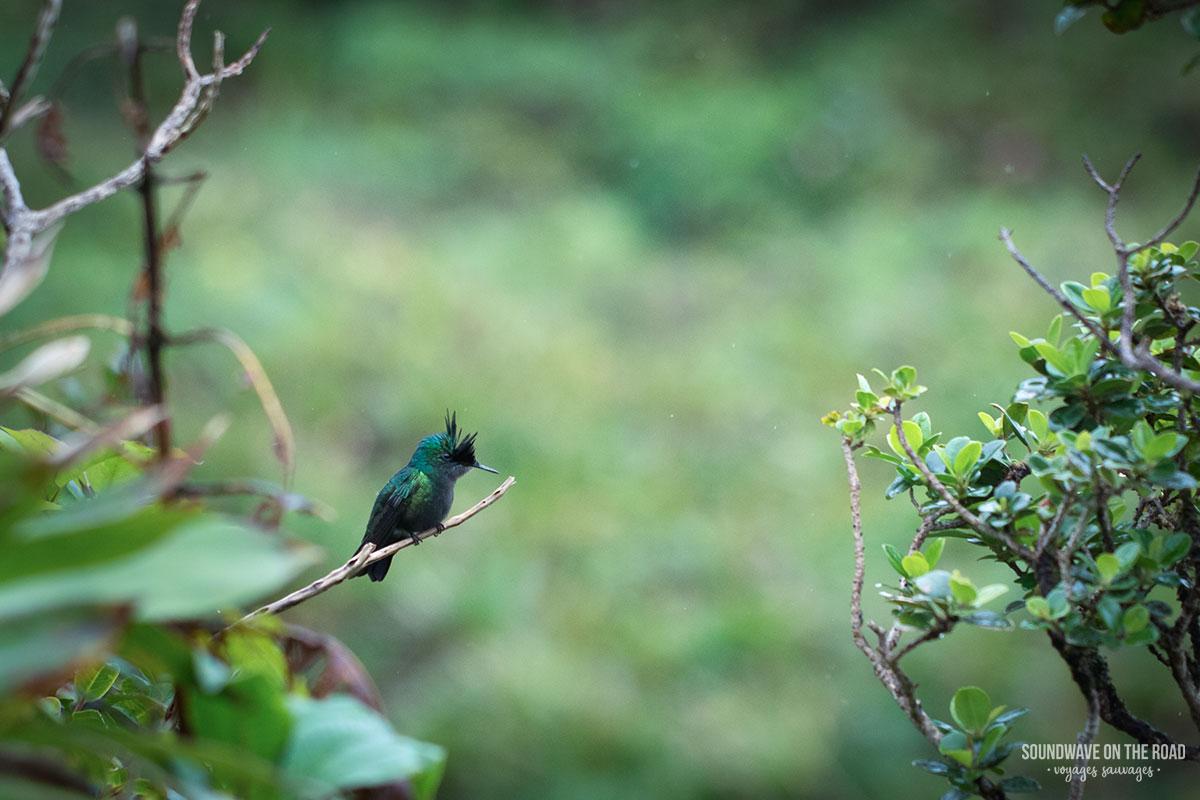 Colibri huppé sur les flancs du volcan de la Soufrière en Guadeloupe