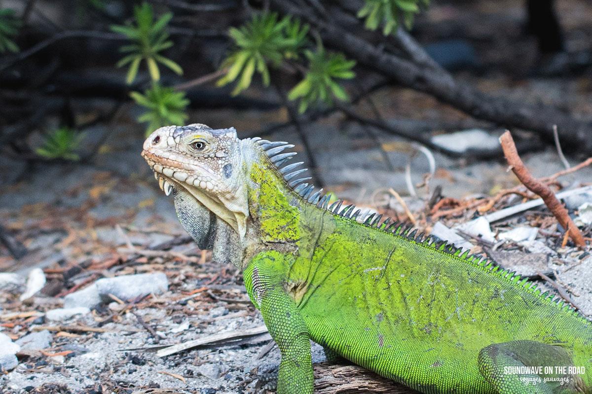 Iguane antillais à Petite Terre, Guadeloupe
