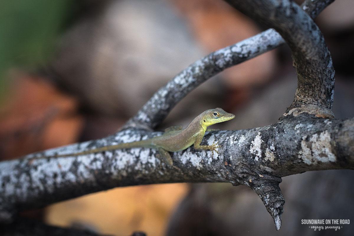 Petit lézard rencontré à Petite Terre, Guadeloupe