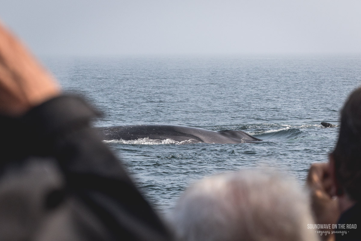 Observation des baleines près de l'île Grand Manan au Nouveau Brunswick