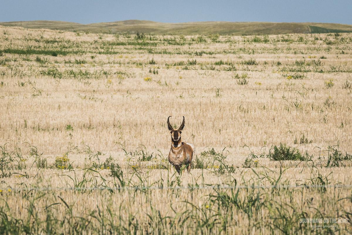 Antilocapre, antilope d'Amérique, dans le Saskatchewan