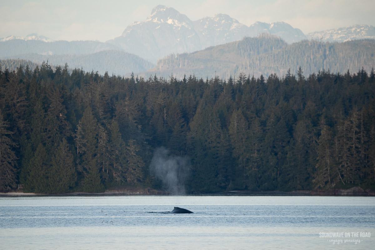 Voir des baleines à bosse en Colombie Britannique dans l'ouest du Canada