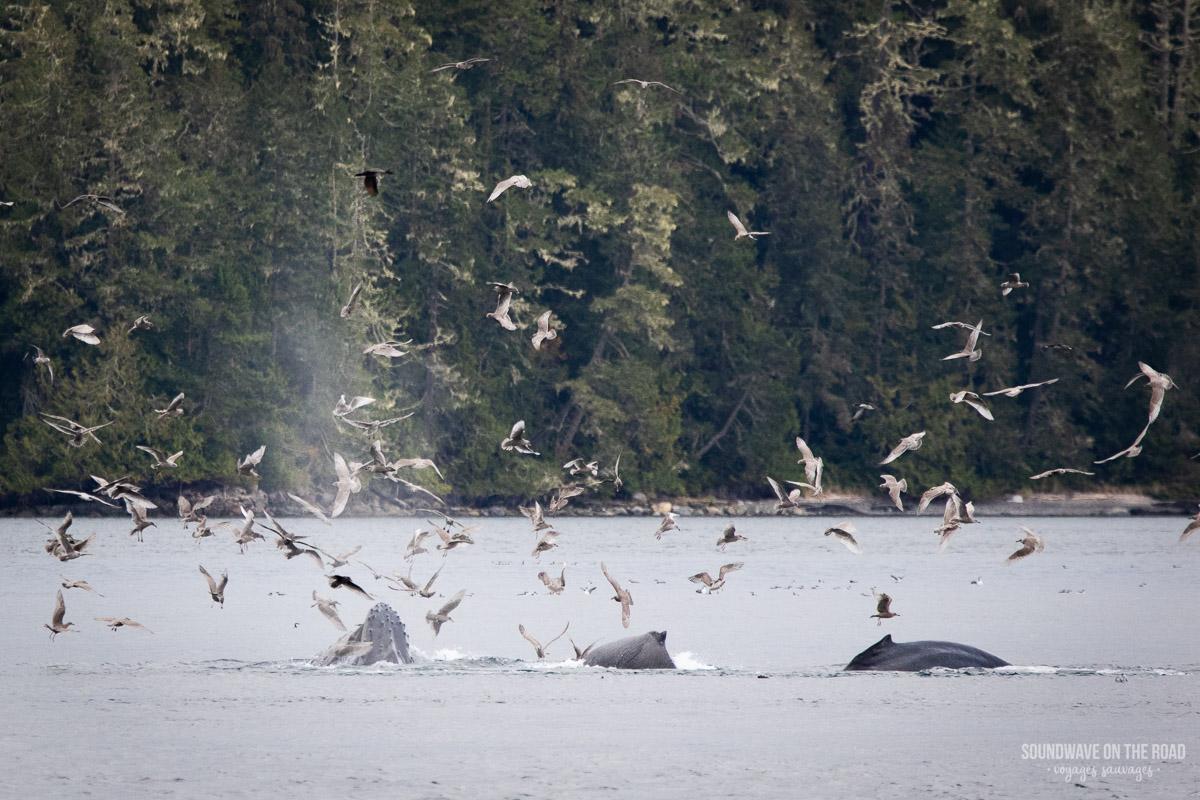 Voir des baleines à bosse de manière responsable au Canada