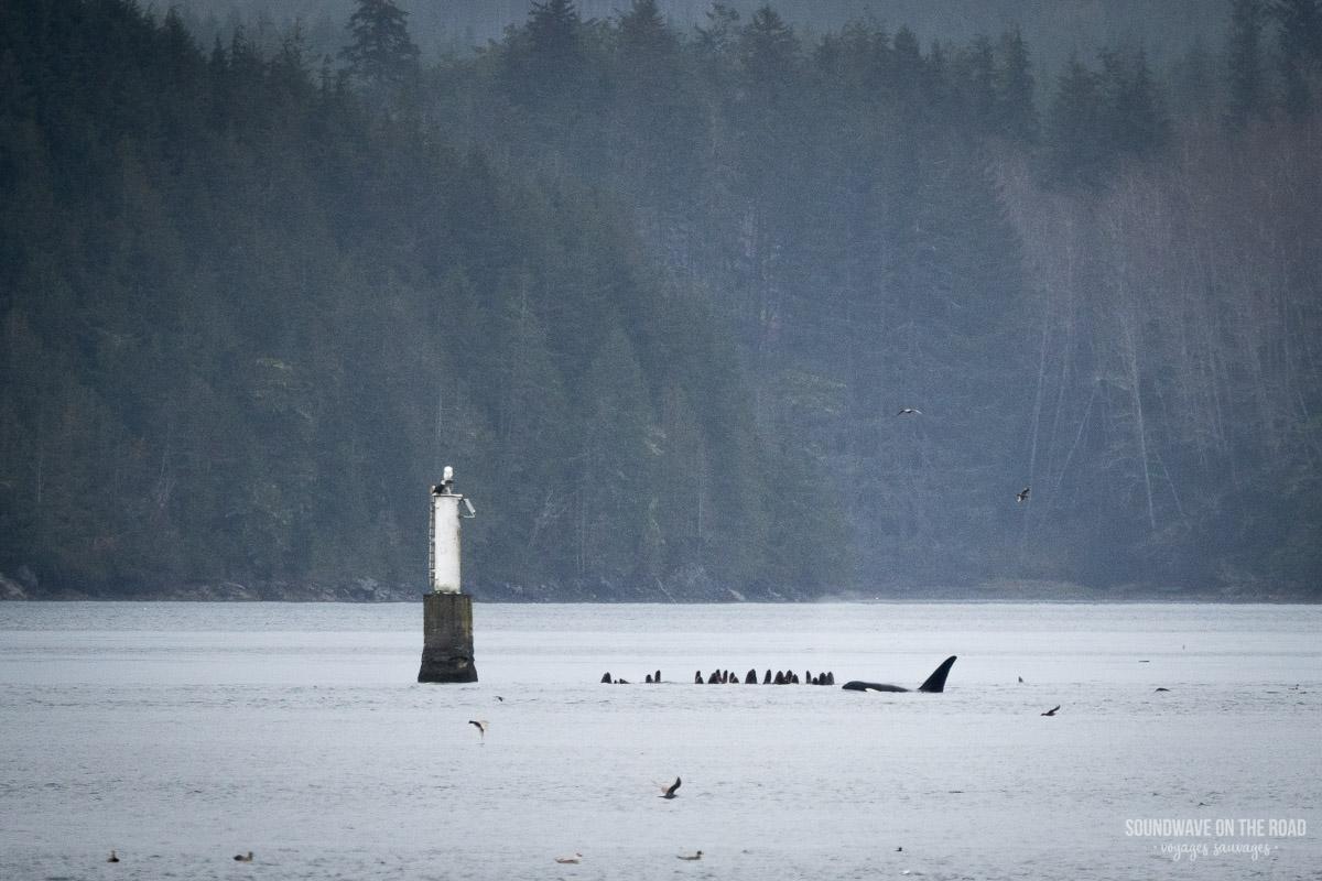 Voir des orques nomades et des lions de mer au Canada