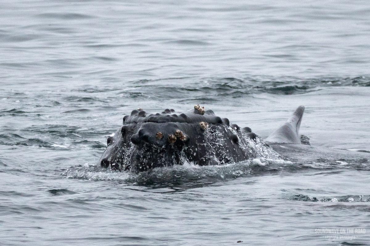 Bouche de baleine