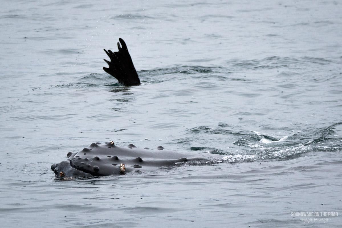 Une baleine joue avec un lion de mer