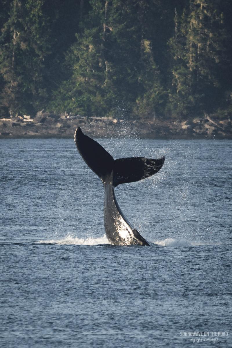 Volontariat Avec Les Baleines à Bosse Dans L'ouest Du Canada