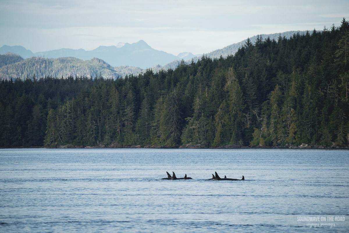 Volontariat avec les orques résidentes du Nord au Canada