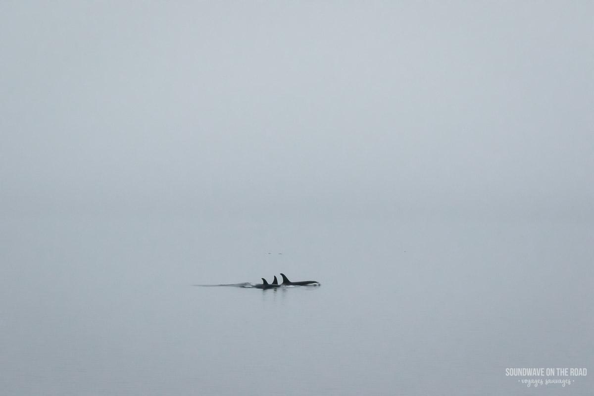 Orques résidentes du Nord dans le brouillard